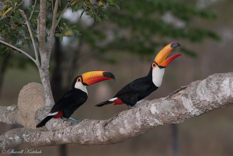 Toco Toucans, Early Morning