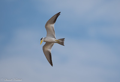 Large-billed tern over the Pantanal Road