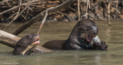 Giant River Otter Enjoying a MEal