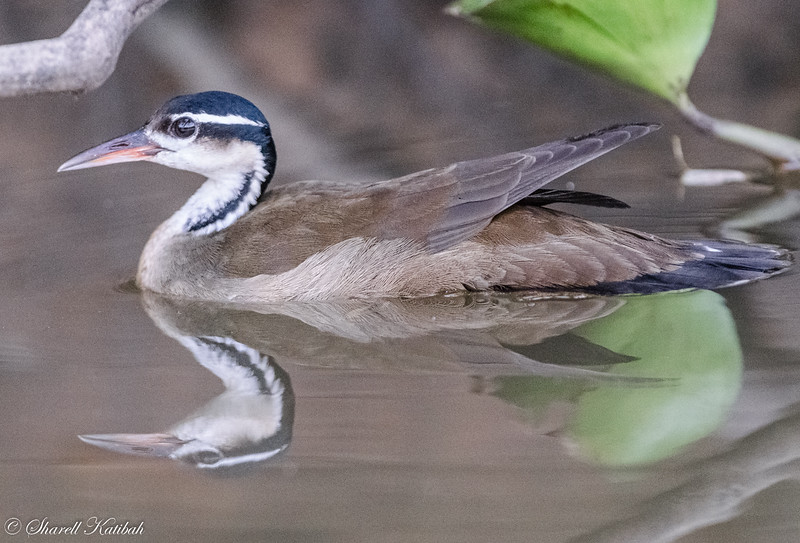 Sungrebe with Reflection