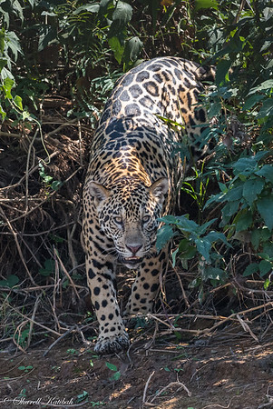 Jaguar in the Brush