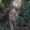 Jaguar in the Brush