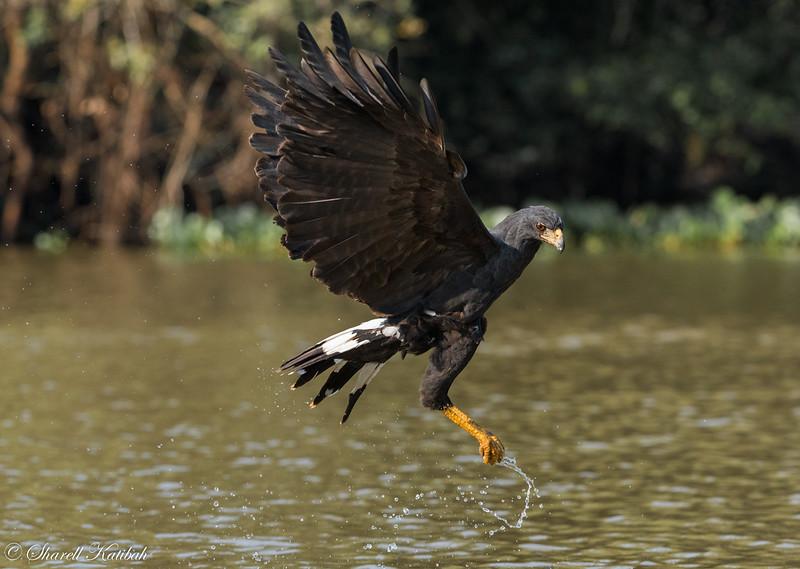 Great Black Hawk with Fish