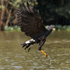 Great Black Hawk with Fish