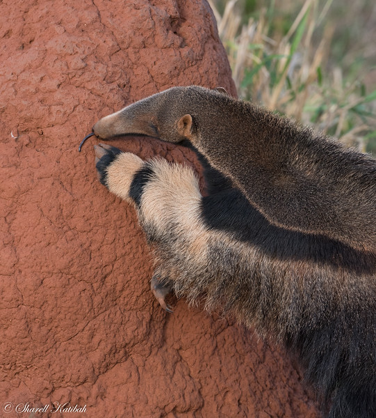 Giant Anteater on Termite Mound