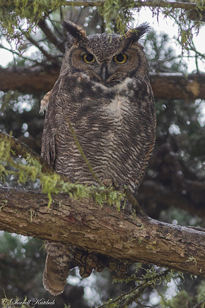 Great Horned Owl on Daytime Perch