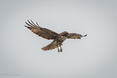 Floating Red Tailed Hawk