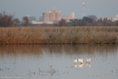 Egrets and the City