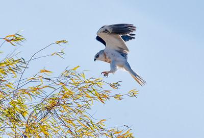 White Tailed Kite Landing