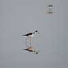 Black -necked stilt Fishing