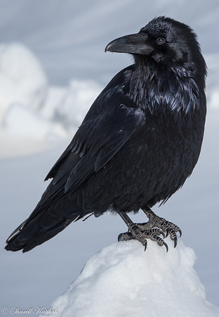 Raven at Icefields