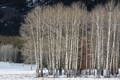 Aspens, Bow Valley Parkway