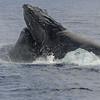 Dueling Humpbacks