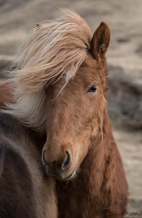 Icelandic Pony #1
