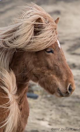 Icelandic Pony #2