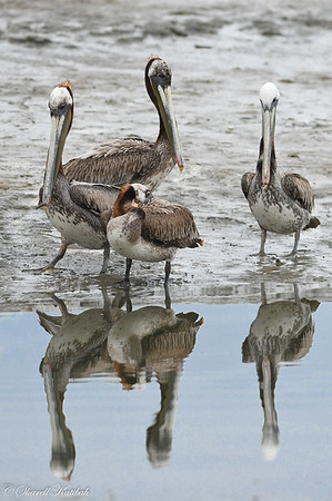Pelican Family with Reflection