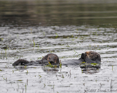 Nursing Otter and Pup