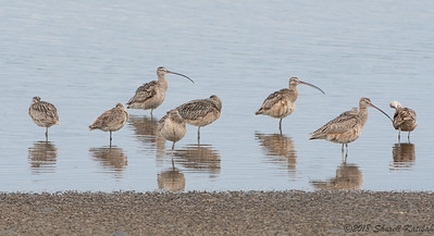 Whimbrels and Curlews with Reflection