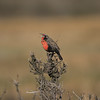 Singing Pampas Meadowlark