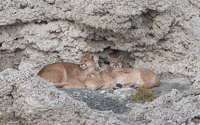 Puma Family at Lago Sarmiento