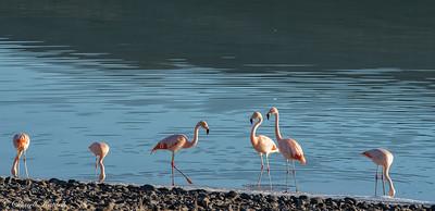 Flamingos of Laguna Amarga