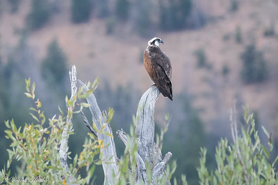 Osprey on Perch