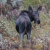Young Moose, Anterlope Flats