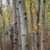 Aspens, Teton Science School