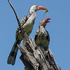 Hornbills with a Meal