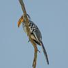 Yellow-billed Hornbill on Branch