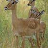Impala in the Brush