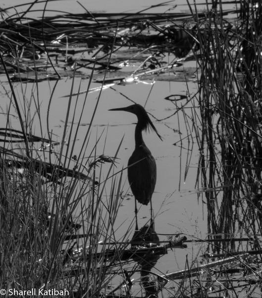 Black Heron in Black and White