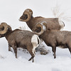Bighorns in search of Lunch
