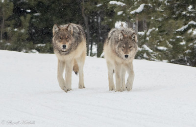 Approaching Wolf Pair