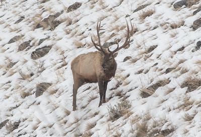 Bull Elk on Hillside