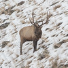 Bull Elk on Hillside