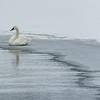 Swan at Pond's Edge