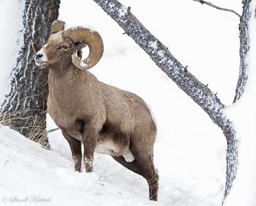 Ram Posing on the Hillside