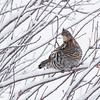 Ruffed Grouse in Bushes