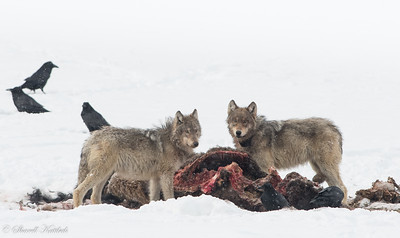 Feeding on a Kill--the Circle of Life