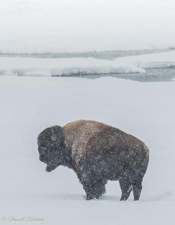 Bison in Snowstorm, Lamar Valley