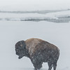 Bison in Snowstorm, Lamar Valley