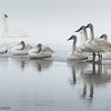 Trumpeter Swans by the Yellowstone River