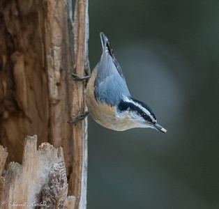 Red-breasted Nuthatch with Seed