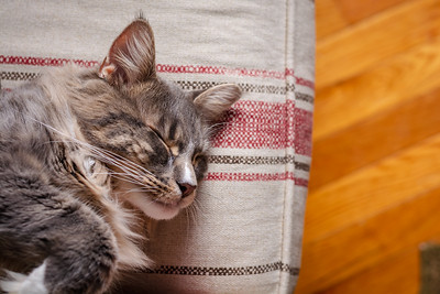 Close up of a grey Maine Coon cat sleeping on the edge of a couch.
