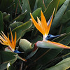 Bird of Paradise, California