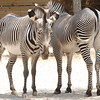 Zebras, St. Louis Zoo