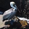 Pelican, Cocoa Beach, Florida