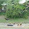 Whistling ducks, Stuart, Florida