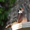 Wood duck, Stuart, Florida